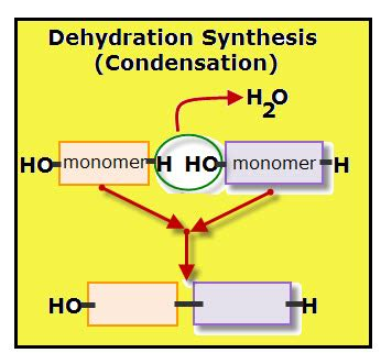 condensation or dehydration and breaking polymers vancleave s science