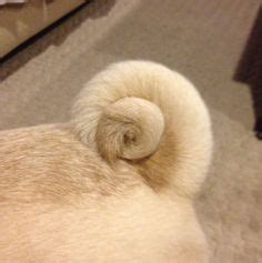 why are pugs tails curly don t see a curl often
