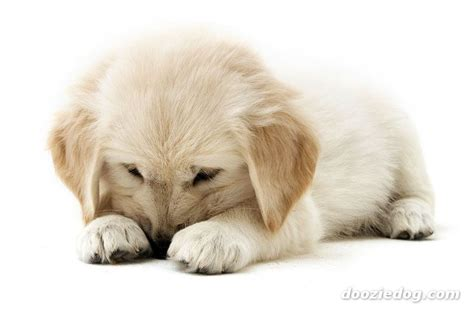 golden retriever photo gallery cool pets 4u golden retriever puppy pictures