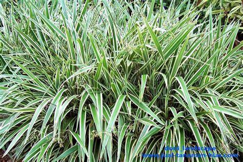jual pohon lili paris lili brazil petani tanaman hias