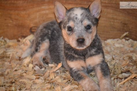 blue heeler puppies for sale in ky australian cattle blue heeler puppy for sale near louisville kentucky 0d08e169 4171