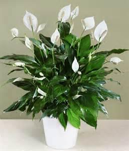 Low Light Plants Indoor by Indoor Flowering Plants Low Light Www Imgarcade Com