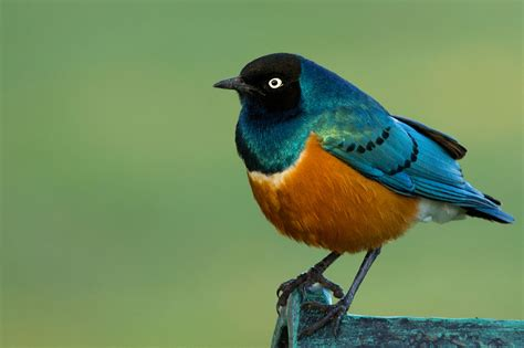 superb starling wikipedia