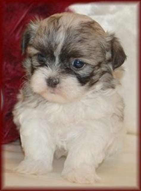 6 week shih tzu puppy mal shi s mix beautys on maltese shih tzu and maltese dogs