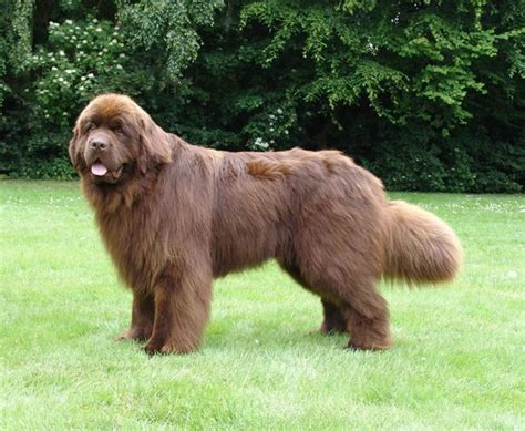 Lookup Newfoundland Brown Newfoundland Search Future Puppy