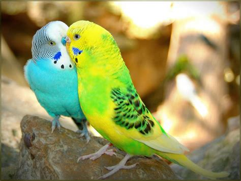 picture of love bird wallpaper hd wide birds pics litle pups love birds hd wallpapers beautiful loving birds