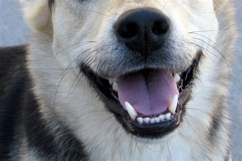 how many teeth do dogs quiz
