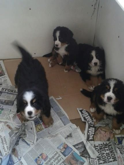 bernese mountain breeders ny bernese mountain puppies for sale new york ny 250718