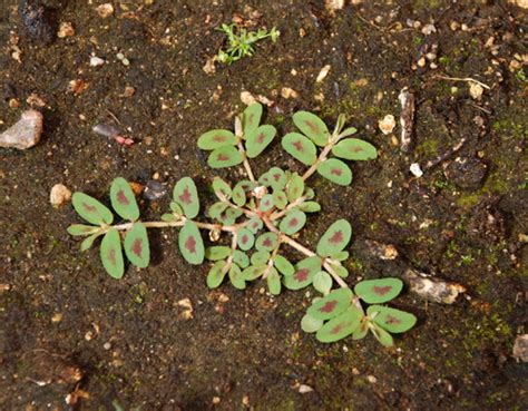 painted spurge scientific name euphorbia maculata umass amherst landscape nursery forestry program