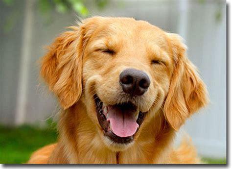 smiling golden retriever smiling golden retriever birthday card greeting card by avanti press ebay