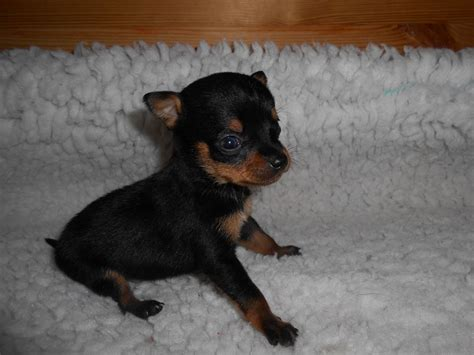 chihuahua min pin puppies chihuahua x miniature pinscher puppies louth lincolnshire pets4homes