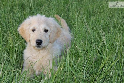 goldendoodle puppies dallas goldendoodle puppy for sale near dallas fort worth 4382f1a1 9341
