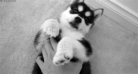 husky puppy gif puppy animated gif
