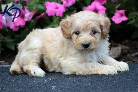 mini doodle puppies for sale in pa 17 best images about mini goldendoodle puppies on