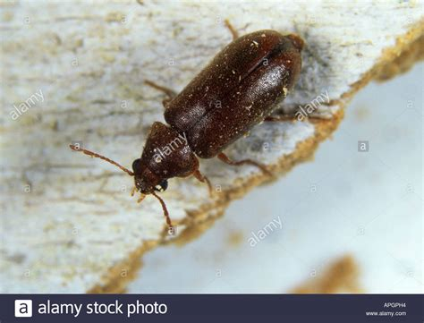 couch beetles a furniture beetle anobium punctatum on timber stock photo