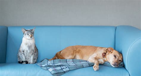 getting dog hair out of couch do you have a lazy dog take our quiz to find out