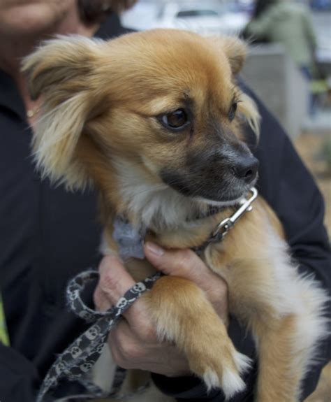haired dachshund pomeranian mix pomeranian chihuahua dachshund mix quotes