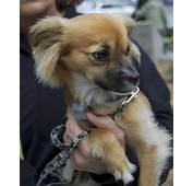 Pomeranian Chihuahua Dachshund Mix Quotes