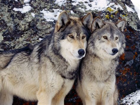 On Wolf wolves or livestock howling for justice