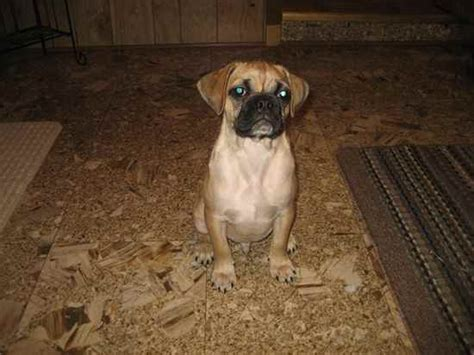 pug boxers boxer dogs curly breeds picture