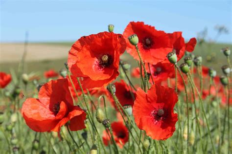 pictures of poppies collection for free download