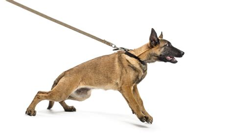 pulls on leash leash your in 3 steps pet sitter trainer windermere orlando