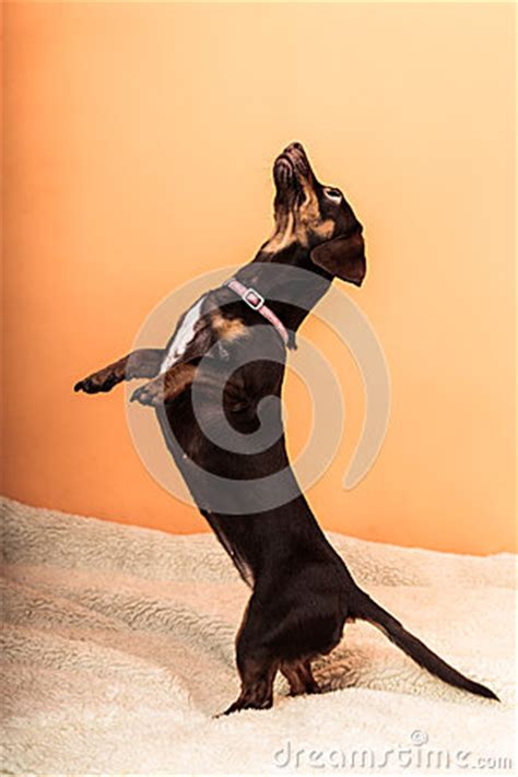 dog jumping on bed cute dog jumping on bed stock photo image 56330619