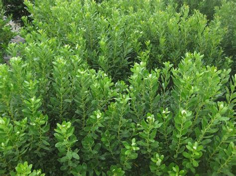 10 best evergreen shrubs garden design