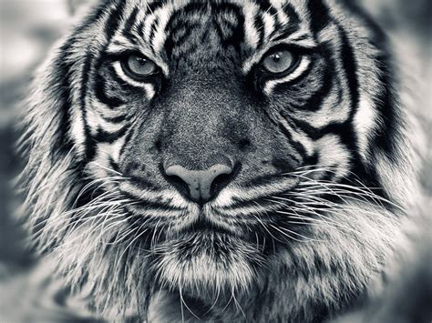 wallpaper black tiger white tiger wallpapers get free top quality white tiger