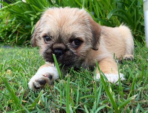 average pug size pug shih tzu mix grown 1001doggy