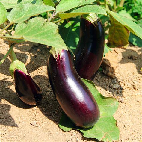 Gardening Eggplant Time Gardener Tips For Every Femside