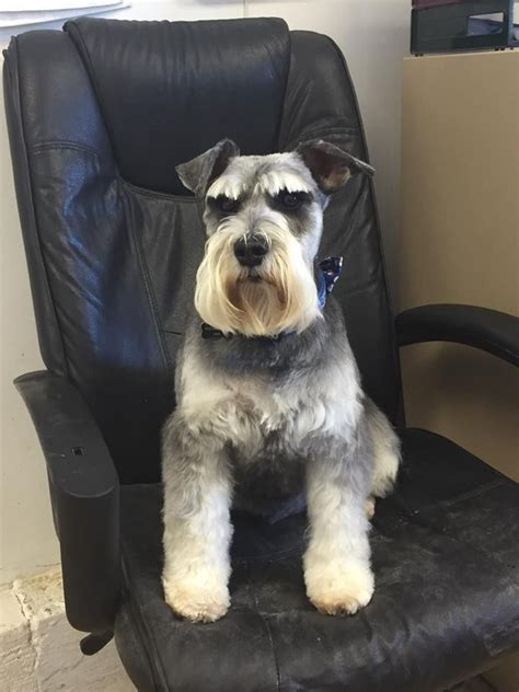 dufferent schnauzer haircuts 1000 ideas about schnauzer grooming on pinterest