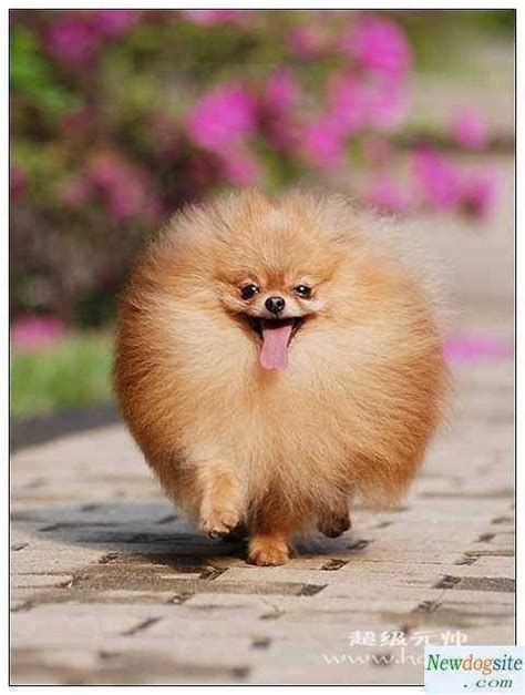 pomeranian hair a poofy pommie dogs pomeranians happy and dreams