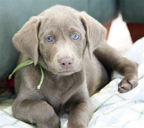 labrador puppies information silver labrador retriever facts and controversy