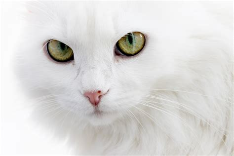 wallpaper cat white serious white cat wallpapers and images wallpapers