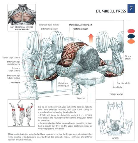 bench press muscle used dumbbell press strength training anatomy pinterest
