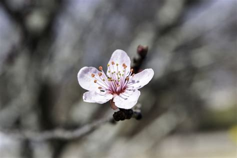 Japanese Cherry Blossom Flower 183 Free Photo On Pixabay Japanese Cherry Blossom Flower