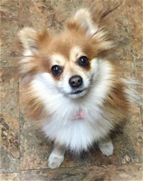 pomeranian white and brown pomeranian pictures the petpom photo gallery