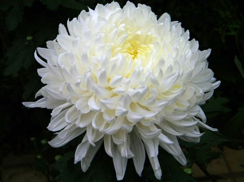 mums flower chrysanthemum