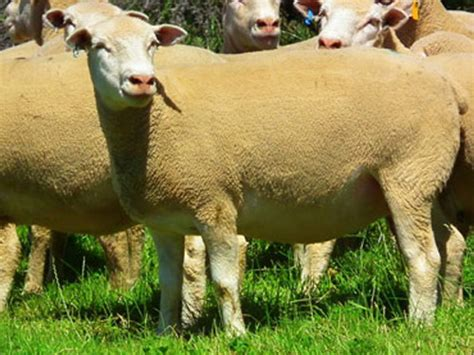 Dormer Sheep dormer ram ewes