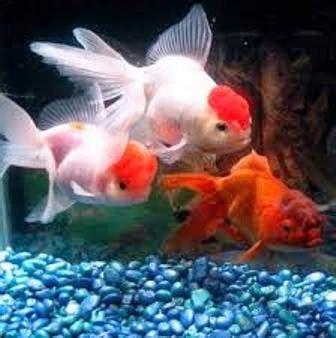 Makanan Ikan San Koi Wheat Germ ikan koi terpopuler koi oranda ragam dunia hewan
