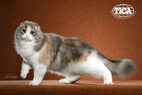 cat breed 8 most affectionate cat breeds pawculture