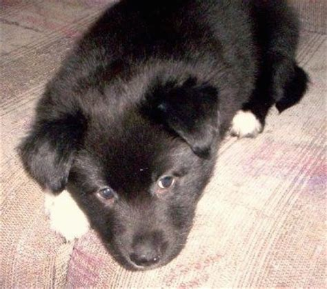 border collie pitbull mix puppies border collie pit breed information and pictures