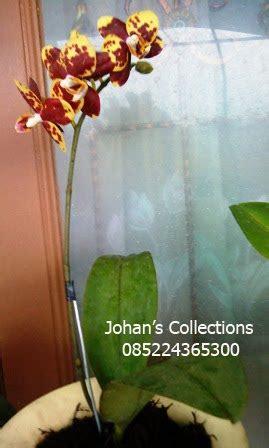 Tanaman Anggrek Bulan Koleksi 5 anggrek dan tanaman hias koleksi anggrek