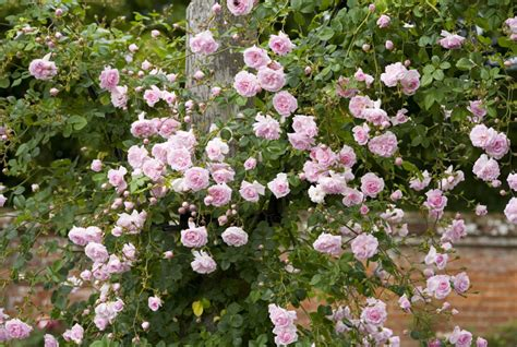 when to plant climbing roses best climbing roses landscaping with climbing roses