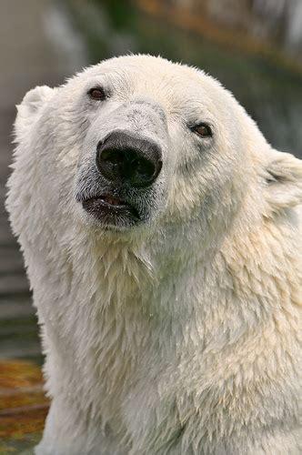 polar bear origin traced    single bear  ireland