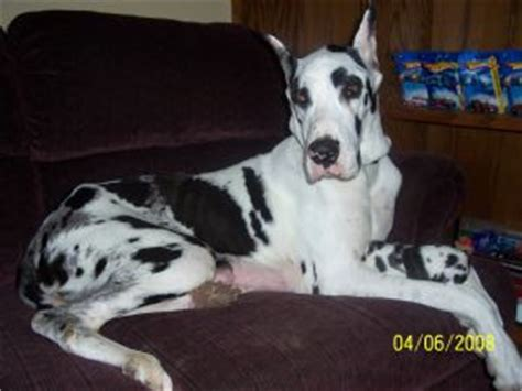great dane puppies for sale in missouri great dane puppies in missouri