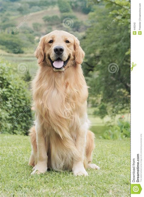 golden retriever seizure learned the way did u that golden retrievers r known to epilepsy they