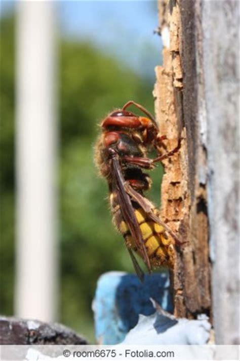 hornisse im haus hornissennest entfernen tipps zum beseitigen hornissen