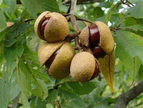best fruit trees for ohio ohio buckeye tree fruit pictures to pin on